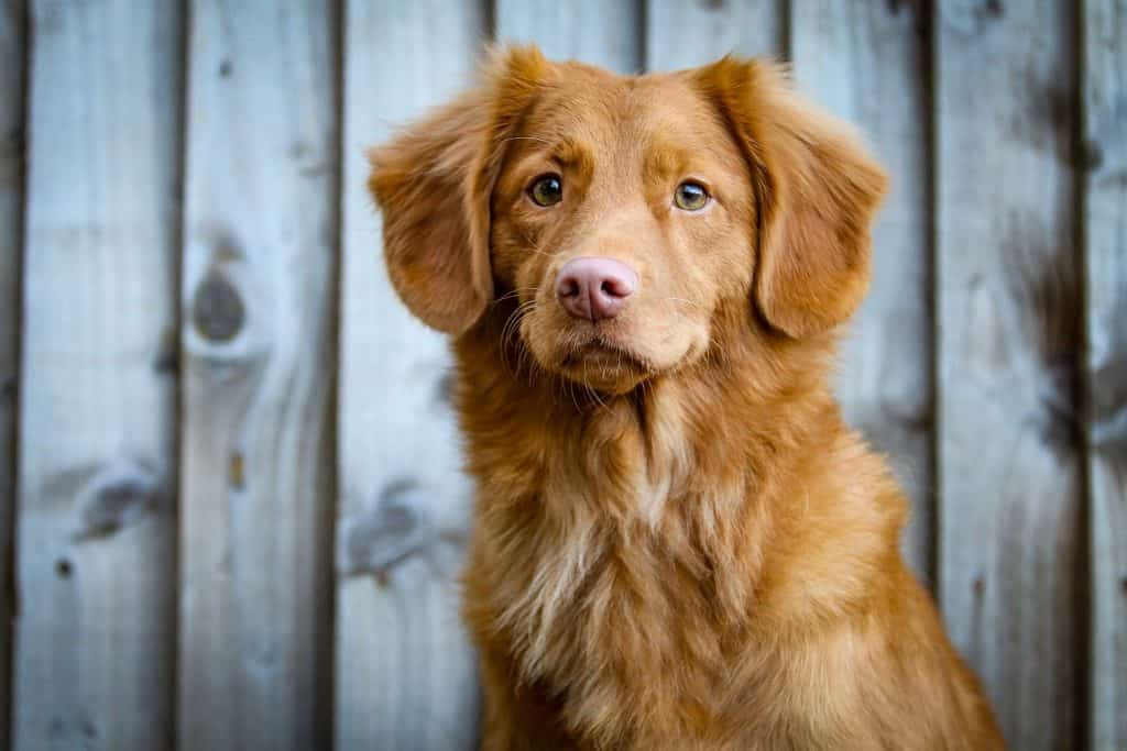 A cute spaniel dog sits in front of a wooden fence