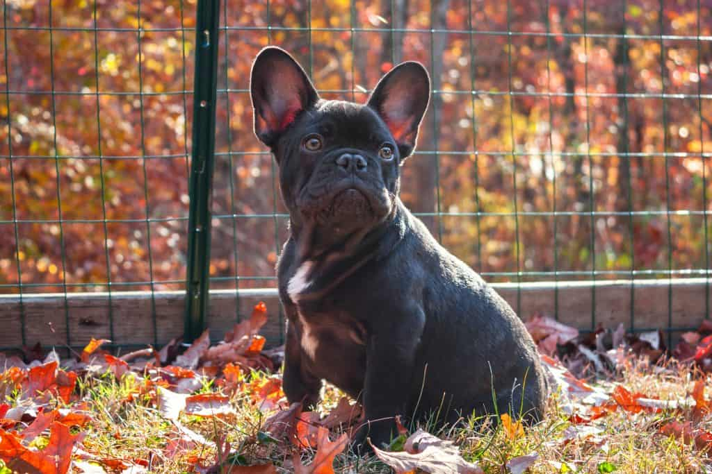 A French Bulldog sits in a yard protected by a deer netting fence